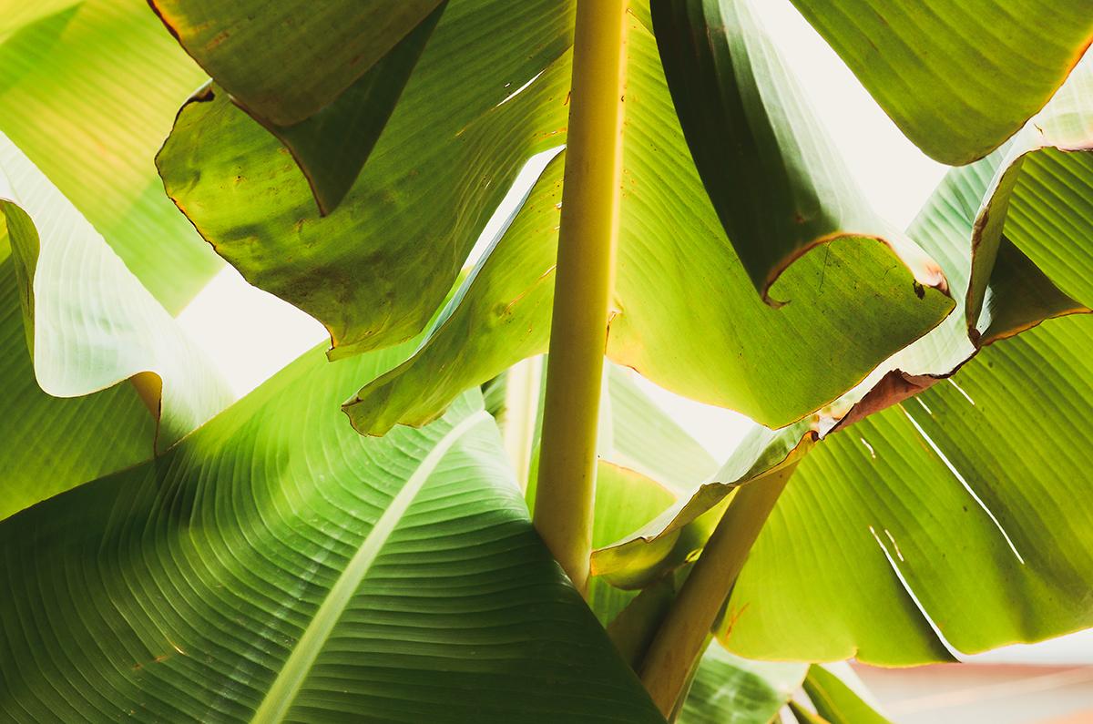 Green blade banana fibre