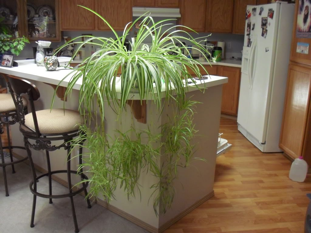 how to start baby spider plants in water